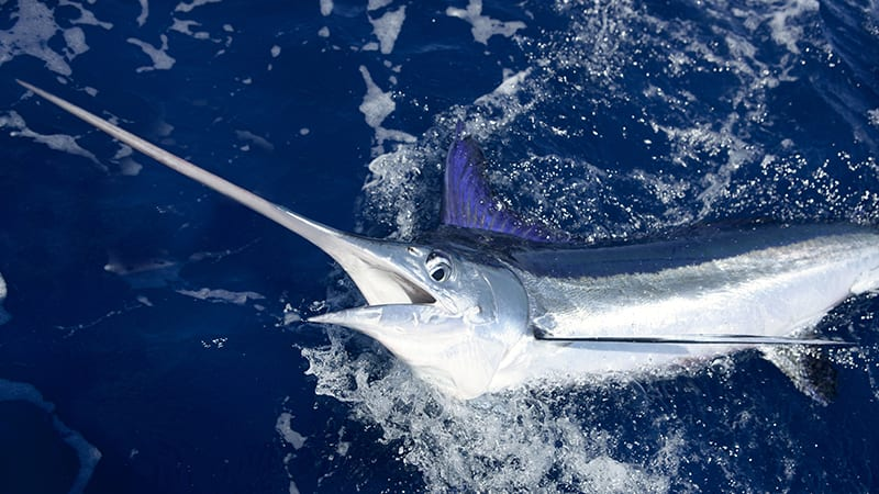 Billfish Tournament Gulf Shores Alabama